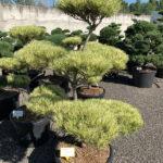 1765 - Borovice hustokvětá - Pinus densiflora 'Oculus-draconis'