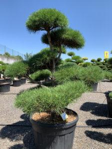 1769 - Borovice lesní - Pinus sylvestris