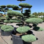 1773 - Jalovec prostřední - Juniperus media 'Hetzii'