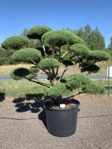 1775 - Borovice lesní - Pinus sylvestris