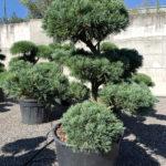 1776 - Borovice drobnokvětá - Pinus parviflora 'Glauca'