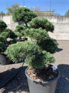 1777 - Borovice drobnokvětá - Pinus parviflora 'Glauca'