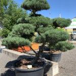 1781 - Borovice lesní - Pinus sylvestris 'Norske Typ'