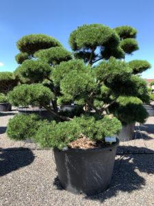 1782 - Borovice kleč - Pinus mugo 'Gnom'