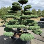 1787 - Jalovec prostřední - Juniperus media 'Hetzii'