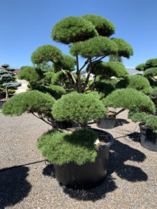 1789 - Borovice lesní - Pinus sylvestris