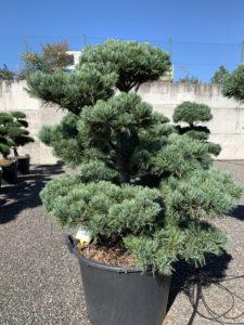1790 - Borovice drobnokvětá - Pinus parviflora 'Glauca'