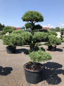 1791 - Borovice drobnokvětá - Pinus parviflora 'Glauca'