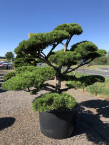 1792 - Borovice lesní - Pinus sylvestris 'Norske Typ'