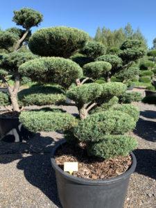 1797 - Jalovec prostřední - Juniperus media 'Hetzii'