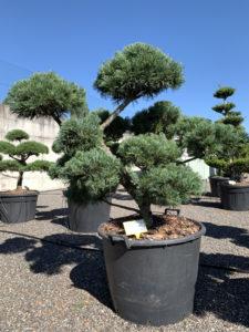1799 - Borovice drobnokvětá - Pinus parviflora 'Glauca'