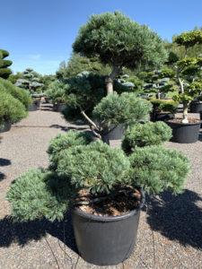 1802 - Borovice drobnokvětá - Pinus parviflora 'Glauca'