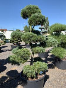 1804 - Borovice drobnokvětá - Pinus parviflora 'Glauca'