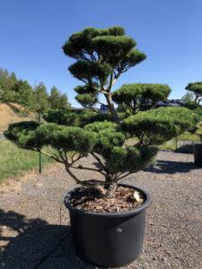 1808 - Borovice lesní - Pinus sylvestris 'Norske Typ'