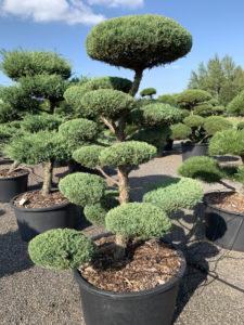 1810 - Jalovec prostřední - Juniperus media 'Hetzii'