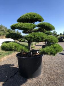 1813 - Borovice černá pravá - Pinus nigra nigra