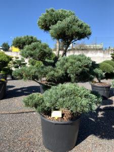 1815 - Borovice drobnokvětá - Pinus parviflora 'Glauca'