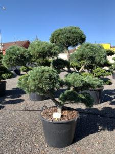 1825 - Borovice drobnokvětá - Pinus parviflora 'Glauca'