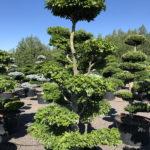1827 - Buk lesní - Fagus sylvatica