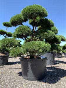 1828 - Borovice kleč - Pinus mugo 'Gnom'