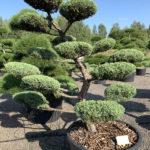1830 - Jalovec prostřední - Juniperus media 'Hetzii'