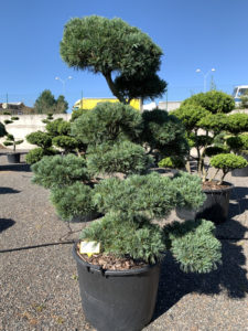 1832 - Borovice drobnokvětá - Pinus parviflora 'Glauca'
