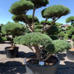 1833 - Borovice lesní - Pinus sylvestris 'Watereri'