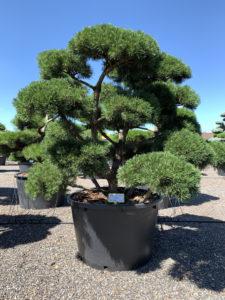 1837 - Borovice kleč - Pinus mugo 'Gnom'
