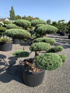 1839 - Jalovec prostřední - Juniperus media 'Hetzii'