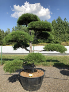 1840 - Borovice černá pravá - Pinus nigra nigra