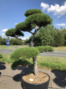1841 - Borovice černá pravá - Pinus nigra nigra
