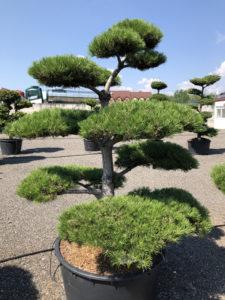 1842 - Borovice černá pravá - Pinus nigra nigra
