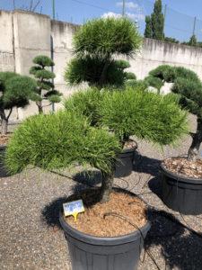 1844 - Borovice pokroucená - Pinus contorta