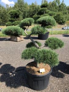 1845 - Borovice lesní - Pinus sylvestris