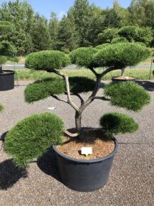 1846 - Borovice pokroucená - Pinus contorta