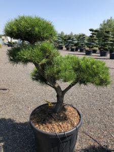 1847 - Borovice pokroucená - Pinus contorta