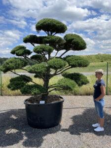 1851 - Borovice lesní - Pinus sylvestris