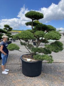 1855 - Borovice lesní - Pinus sylvestris