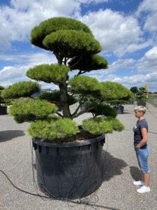 1857 - Borovice černá pravá - Pinus nigra nigra