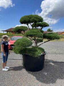 1858 - Borovice lesní - Pinus sylvestris