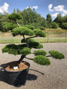 1861 - Borovice pokroucená - Pinus contorta