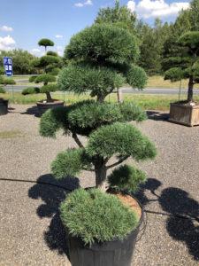 1864 - Borovice lesní - Pinus sylvestris