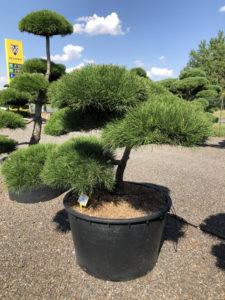 1865 - Borovice pokroucená - Pinus contorta