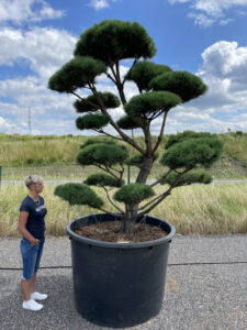1873 - Borovice lesní - Pinus sylvestris
