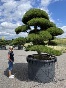 1876 - Borovice černá pravá - Pinus nigra nigra