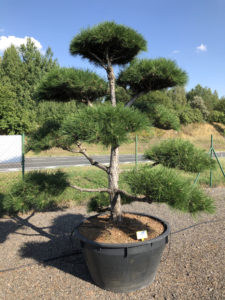 1878 - Borovice černá pravá - Pinus nigra nigra