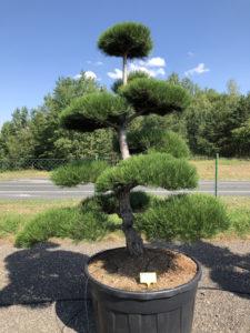 1879 - Borovice černá pravá - Pinus nigra nigra