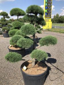 1883 - Borovice lesní - Pinus sylvestris