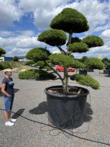 1895 - Borovice černá pravá - Pinus nigra nigra
