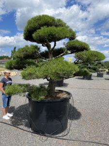 1896 - Borovice černá pravá - Pinus nigra nigra